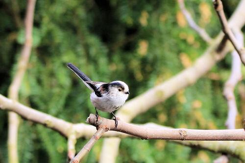 Mésange à longue queue (Long-tailed Tit)