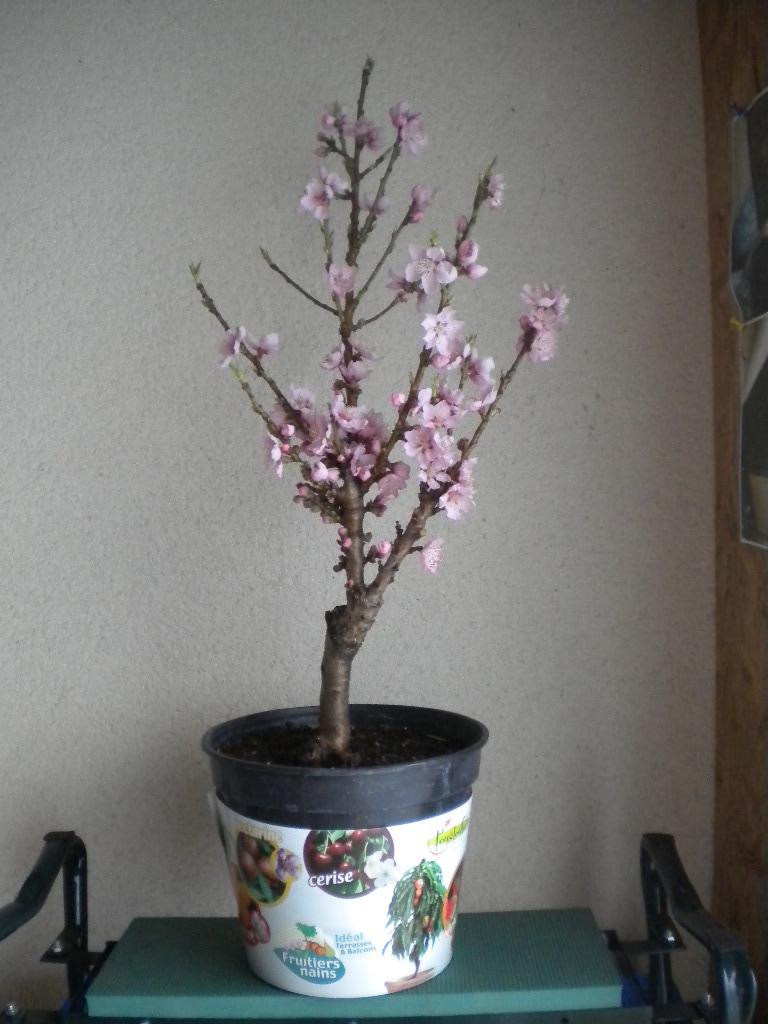 la derniere folie de mon mari un arbre fruitier nain ulla. Black Bedroom Furniture Sets. Home Design Ideas