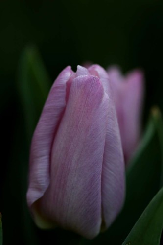 Tulipes Candy Prince4