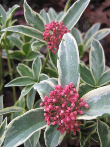 Skimmia japonica ' Magic Marlot '