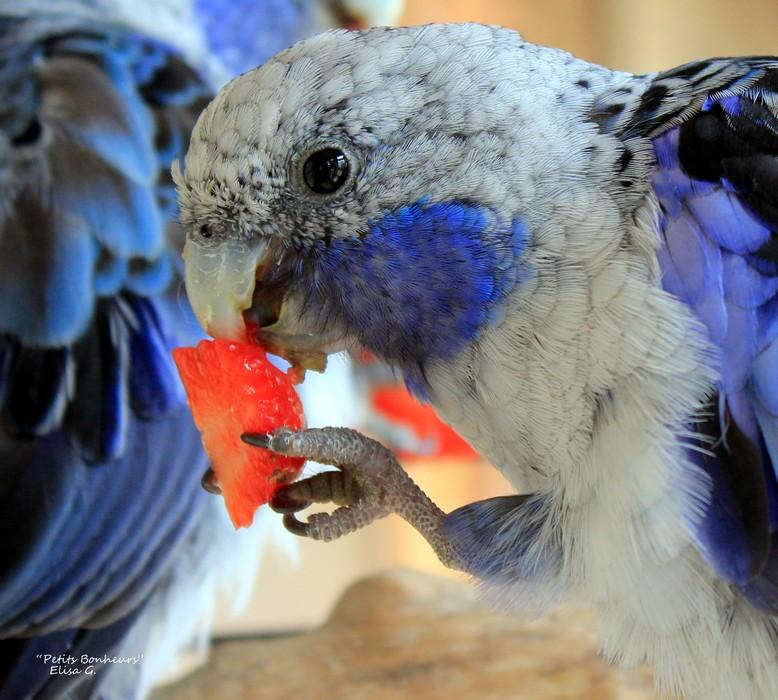 Perruches de Pennant bleues