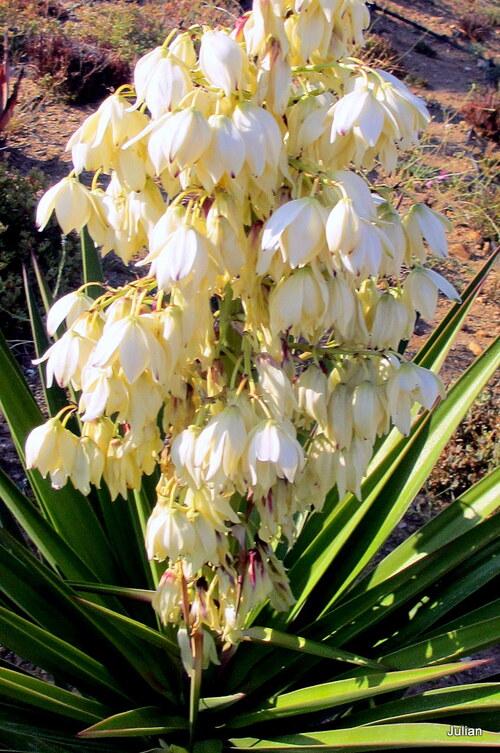 Un yucca avec des fleurs blanches