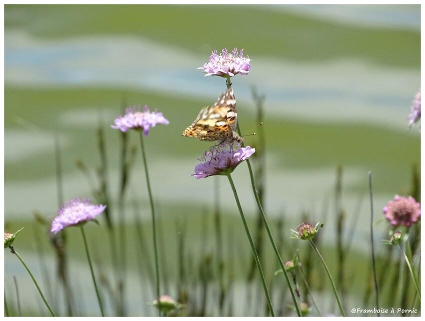 Papillon Belle Dame - 2016