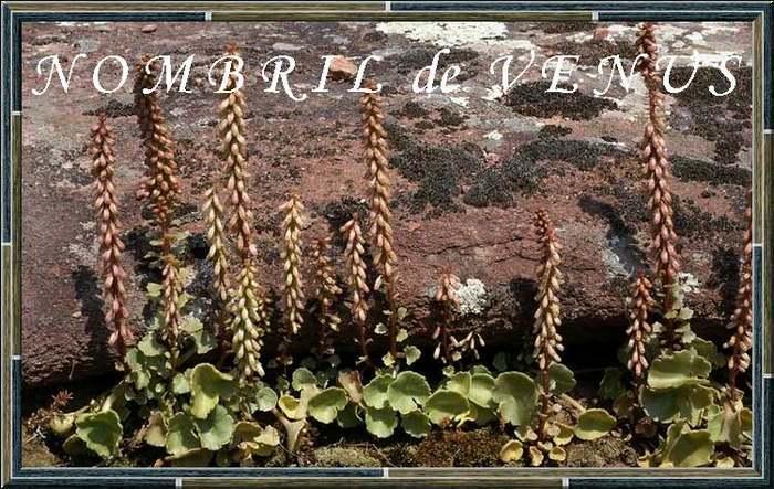 Vertus médicinales des plantes sauvages : Nombril de Vénus