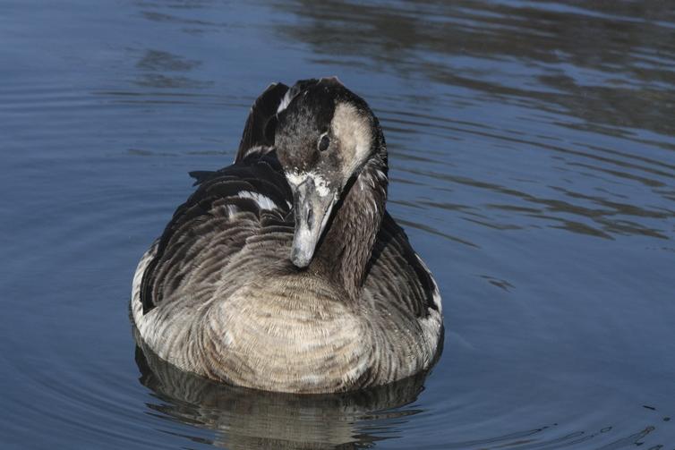 Bernache du Canada                Canada Goose