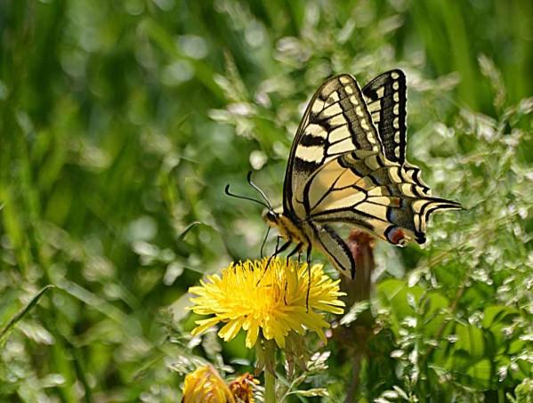 Insectes-papillons--4 2404 modifié-1