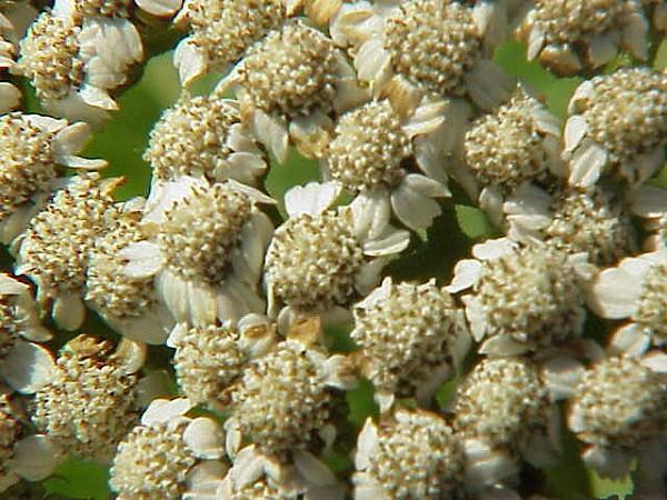 Tanacetum macrophyllum-Stueber6