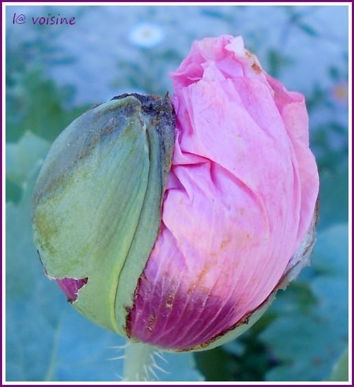 pavot-rose3-11.05.12.jpg