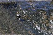 Cincle plongeur