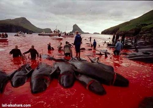 honte au Danemark - massacre de dauphins
