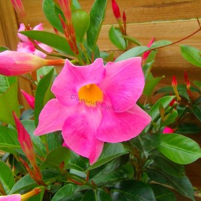 Dipladénia - La fleur