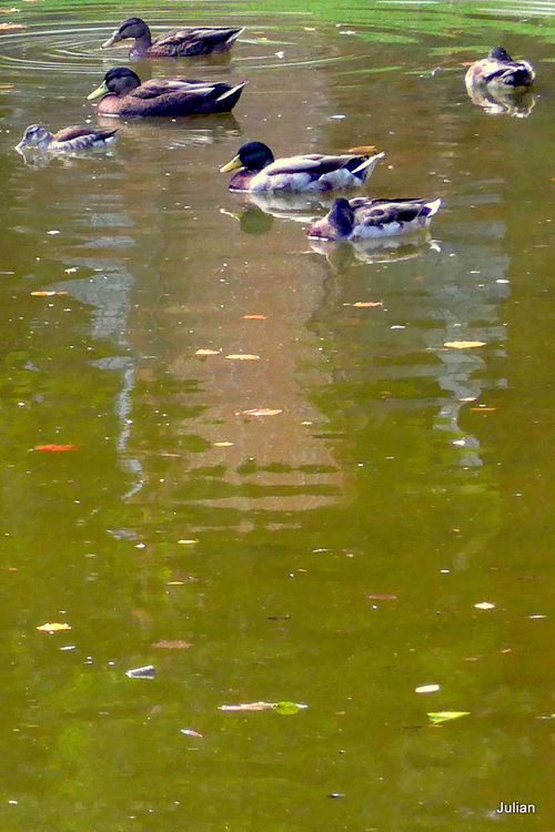 Toulouse : des canards au Jardin Royal