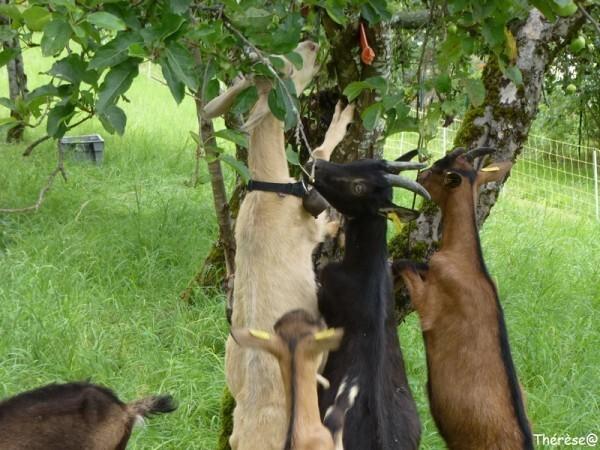 Les chèvres (11)