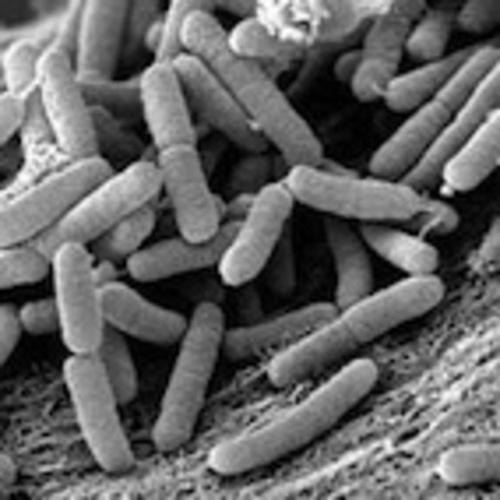 La bactérie Xylella