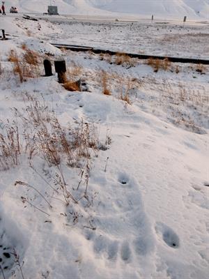 isbjørnspor detalj