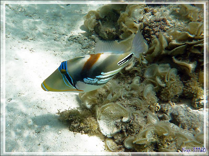 Baliste Picasso clair, Blackbar triggerfish (Rhinecanthus aculeatus) - Moorea - Polynésie française