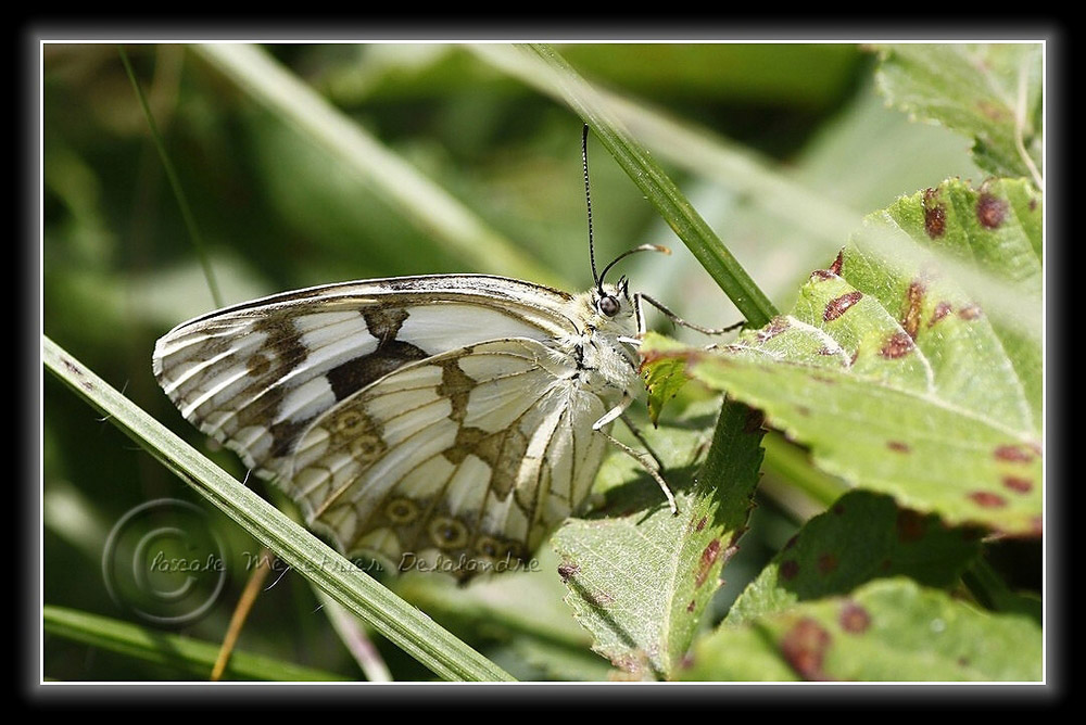Demi-Deuil (Melanargia galathea) - Nymphalidae
