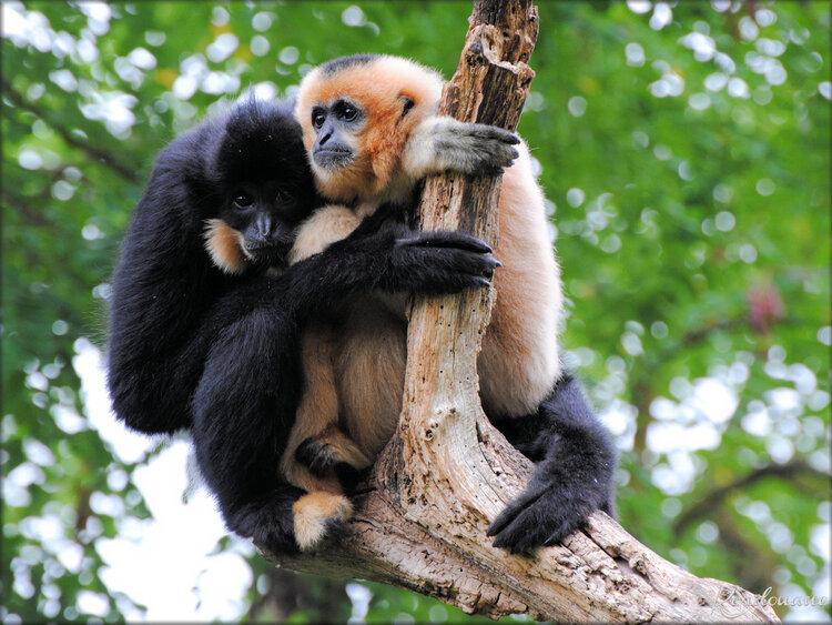 Gibbons à favoris roux (Zoo de Doué la Fontaine)