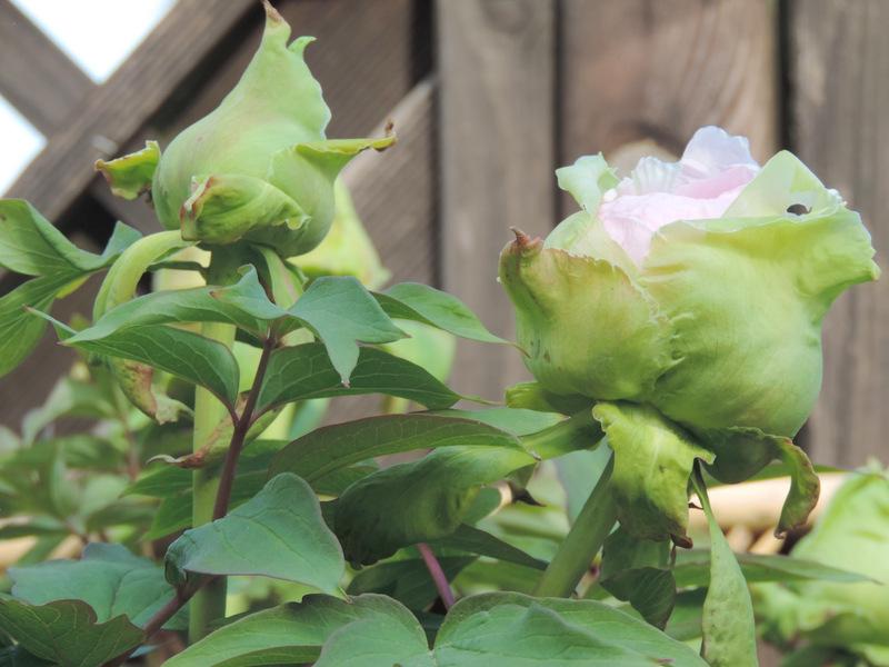 Pivoine arbustive en fleurs le nouveau blog de shuki for Plante arbustive fleurie