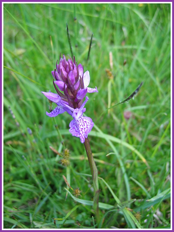 Orchis de Fuchs