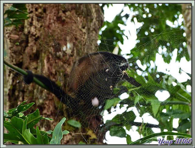 Blog de images-du-pays-des-ours : Images du Pays des Ours (et d'ailleurs ...), Pris au piège? - Playa Cocles - Parc National de Cahuita - Puerto Viejo de Talamanca - Costa Rica