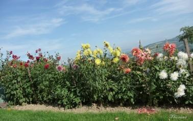 Fleurs d'automne (7)