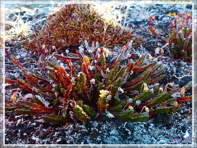Cassiopée tétragone ou bruyère arctique (Cassiope tetragona) - Dundas Harbour - Ile Devon - Baie de Baffin - Nunavut - Canada