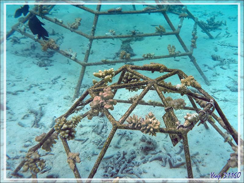 Tentatives de sauver les coraux détruits par le réchauffement de l'eau (climatique et dû aussi à El Niño) - Snorkeling à Moofushi - Atoll d'Ari - Maldives