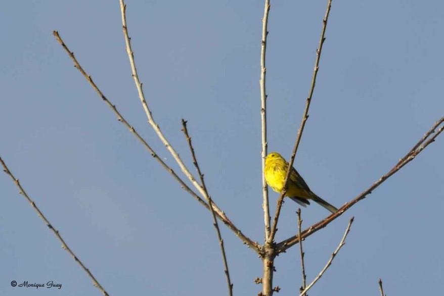 bruant-jaune-1617.jpg