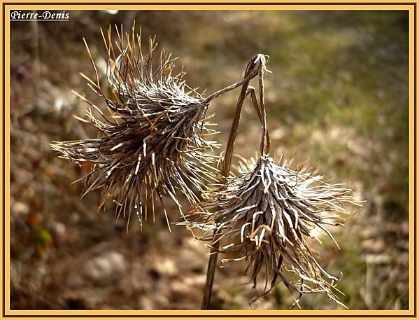 Fleurs sèchées