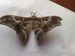 Elevage dans la classe: la chenille de papillon Bombyx Eri