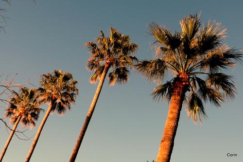 Le haut des palmiers en mars
