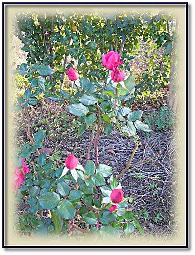 rose-jardin-11-5.jpeg