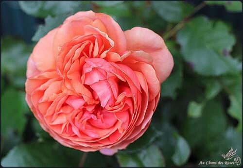 Geisha (Pink Elisabeth Arden)
