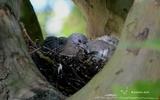 Pigeon ramier - p207