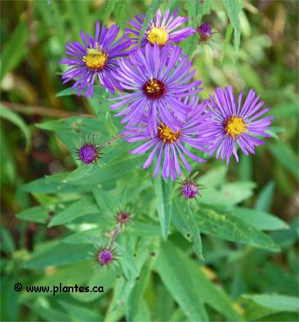 Photo d'Aster de Nouvelle-Angleterre - Aster novae-angliae