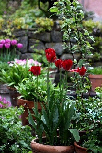 Tulipes Red Spring Green8