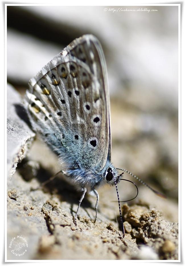 Azuré (Lycaenidae)