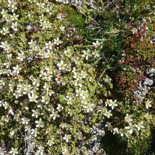 Saxifrage fausse mousse ?
