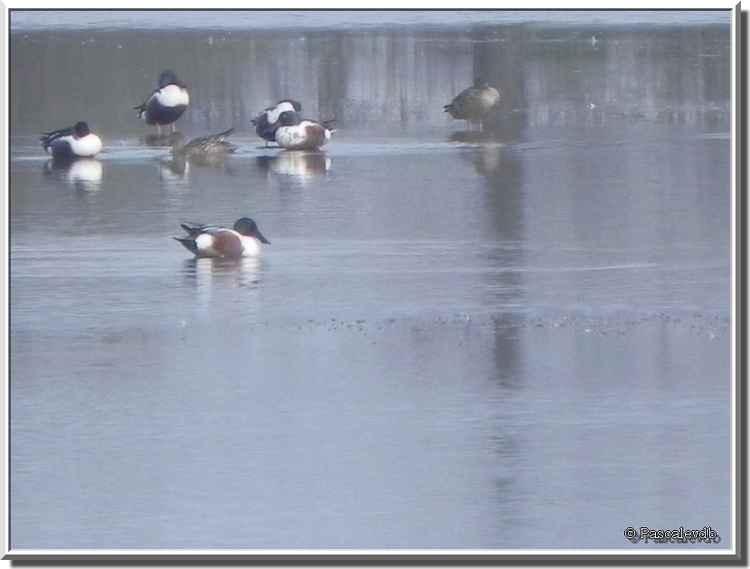 Parc ornitho du Teich - canard souchet