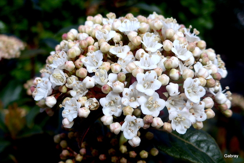 Les fleurs du laurier tin