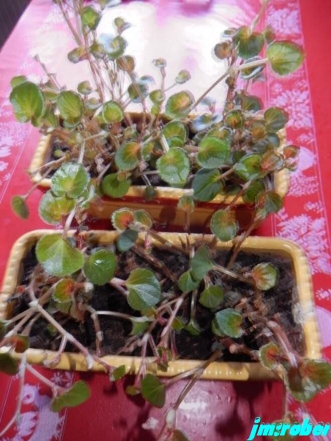 Bégonia annuel ou begonia semperflorens