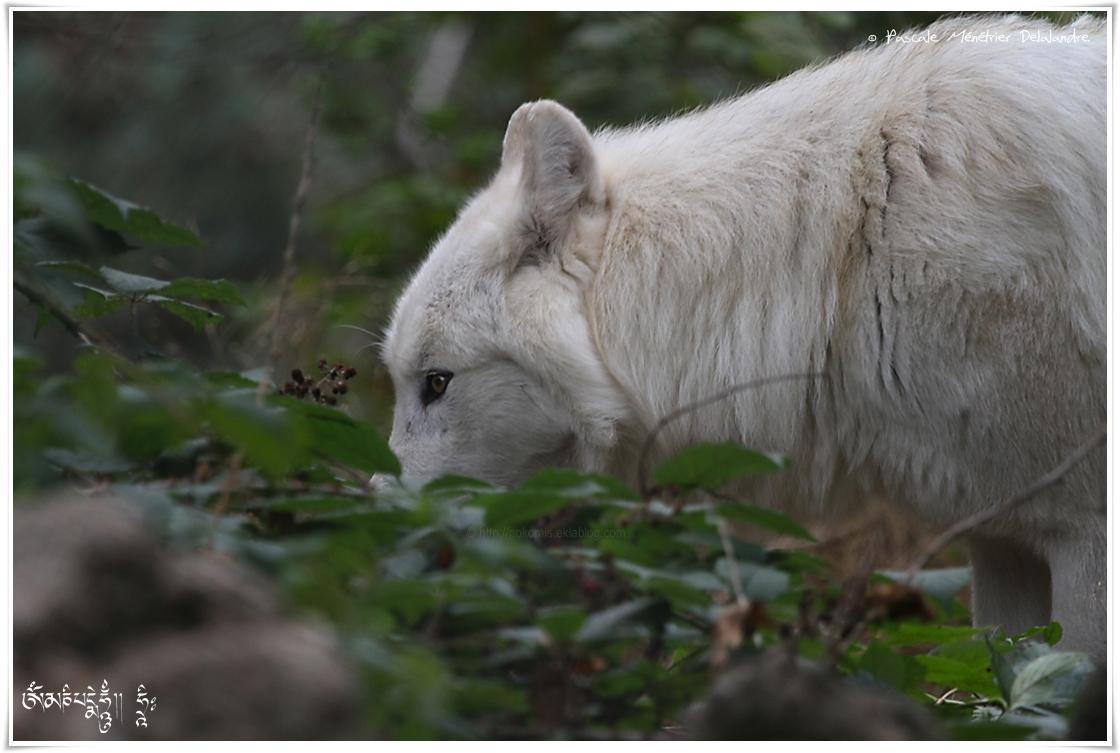 Loup du Mackenzie ( Canis lupus machenzii )