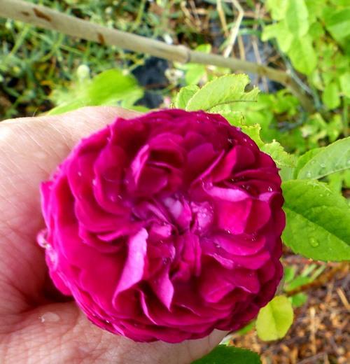 les roses enciennes non remontante au jardin de l'abbaye saison 2017