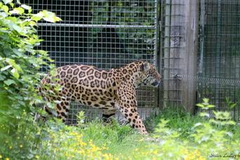 Jaguar d'Amérique du sud