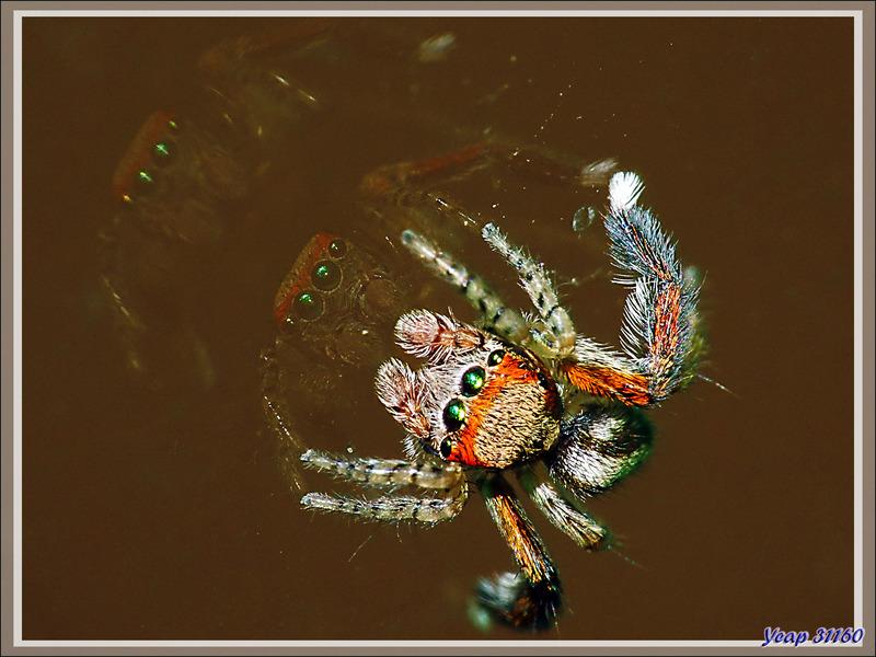 "Araignée sauteuse (saltique) ""Pied barbu"" (Saitis barbipes) mâle - Lartigau - Milhas - 31"