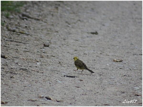 Oiseaux-3-5559-bruant-jaune.jpg