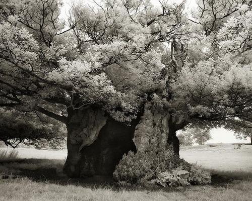 Les plus vieux arbres