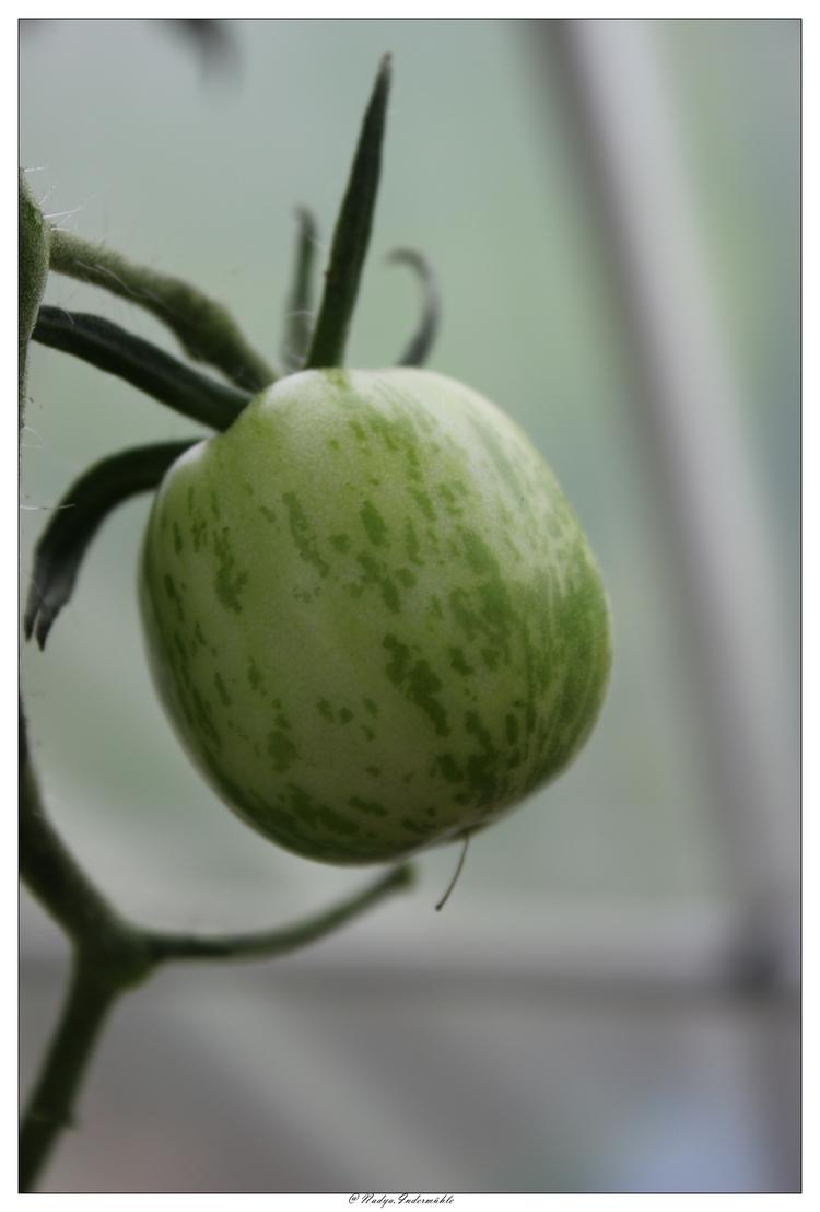 Tomates de 2016