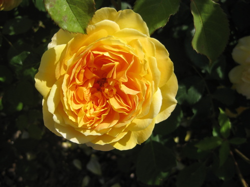 La rose de la semaine n° 15  chez Jean Pierre : jaune